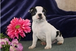 Picture of Ricky PDZ Healthy BostonTerrier Puppy RDY3/3
