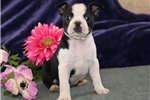 Picture of Penny PDZ Healthy BostonTerrier Puppy RDY3/3