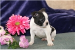 Picture of Rudy PDZ Healthy BostonTerrier Puppy RDY3/3