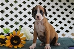Picture of Gem  EH Cute Baby Female Boxer  Rdy Now