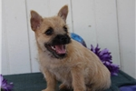 Picture of Susie   AM   Cute Cairn Terrier Puppy Ready 7/25