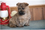 Picture of Mark  AM  Healthy Cute Cairn Terrier Puppy