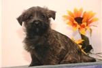Picture of Coffee AM  Healthy Cute Cairn Terrier Puppy