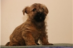 Picture of Aspen AM  Healthy Cute Cairn Terrier Puppy