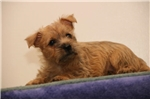 Picture of Barkley AM  Healthy Cute Cairn Terrier Puppy