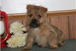 Picture of Sylvan AM  Healthy Cute Cairn Terrier Puppy