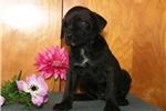 Picture of Liz  JL Cane Corso Italiano Mastiff PupRdy 3/22
