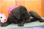 Picture of Julie JL Cane Corso Italiano Mastiff Pup Rdy 3/22