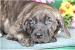 Cane Corso Mastiffs for sale