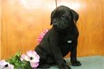 Picture of Jill JL Cane Corso Italiano Mastiff PupRdy 3/22