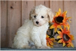 Picture of Flower ME Designer Cockapoo Puppy