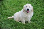 Picture of Tony RB English Cream Golden Retriever Pup Rdy Now
