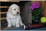 Picture of Hopper BS  English Cream Puppy AKC  Rdy 5/9