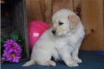 Picture of Dexter BS  English Cream Puppy AKC  Rdy 5/9