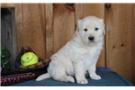Picture of Cricket BS  English Cream Puppy AKC  Rdy 5/9