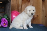Picture of Alesta BS  English Cream Puppy AKC  Rdy 5/9