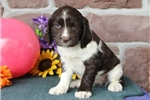 Picture of Denise  SH  English Springer Spaniel Puppy AKC