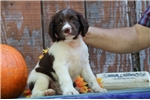 Picture of Evan EB Healthy English Springer Spaniel Pup