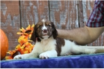 Picture of Olivia EB Healthy English Springer Spaniel Pup