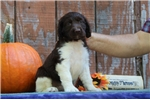 Picture of Emily EB Healthy English Springer Spaniel Pup