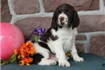 Picture of Derry  SH  English Springer Spaniel Puppy AKC