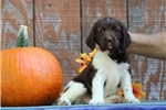 Picture of Hannah EB Healthy English Springer Spaniel Pup
