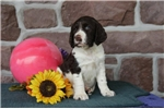 Picture of Dell  SH  English Springer Spaniel Puppy AKC