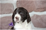 Picture of Dale  SH  English Springer Spaniel Puppy AKC