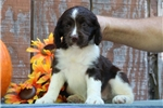 Picture of Emma EB Healthy Engish Springer Spaniel Pup
