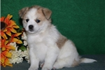 Picture of Mr Trixie   JZ  Healthy EskaPoo/Pom Puppy Rdy 6/10