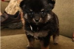 Picture of Kacey AS Eska-Pom Puppy