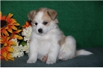 Mr Trixie   JZ  Healthy EskaPoo/Pom Puppy Rdy 6/10 | Puppy at 8 weeks of age for sale