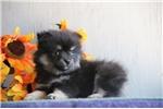 Picture of Kenya AS Eska-Pom Puppy