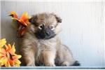 Picture of Karol AS Eska-Pom Puppy