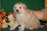 Picture of Mr Tootsie JZ  Healthy EskaPoo/Pom Puppy Rdy 6/10