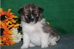Tiny   JZ  Healthy EskaPoo/Pom Puppy Rdy 6/10 | Puppy at 8 weeks of age for sale
