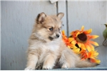 Picture of Kelly AS Eska-Pom Puppy