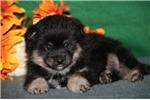 Picture of Tiny   JZ  Healthy EskaPoo/Pom Puppy Rdy 6/10