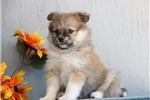 Kozi AS Eska-Pom Puppy | Puppy at 8 weeks of age for sale