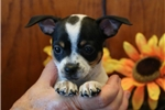 Picture of Spunky AH Healthy & Fine Fox Terrier Smooth Pup