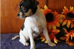 Picture of Valentine AH  Healthy &Fine Smooth Fox Terrier Pup