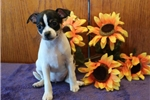 Picture of Spotty AH Fine & Healthy Fox Terrier Smooth Puppy