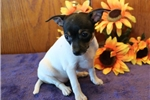 Picture of Candy AH Healthy & Fine Fox Terrier Smooth Puppy