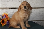 Picture of Alex JL Quiet&Gentle Golden Retriever PupRdy 11/1