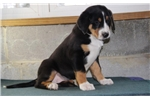 Picture of Julia BL  Greater Swiss Mountain Dog Puppy