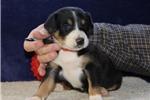 Picture of Jewel  BL  Greater Swiss Mountain Dog Puppy