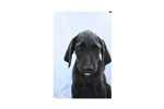Picture of Judge #2SM Male Weimardoodle