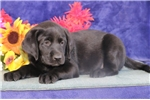 Picture of Cookie cm America's Favorite Dog Black Lab Puppy