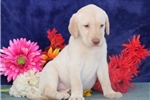 Picture of Caramel cm America's Favorite Dog Yellow Lab Puppy