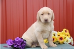 Picture of Andy WK Male AKC Registered Red Labrador Retriever